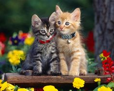 If you put a collar on a cat make sure its not too tight. You should be able to fit two fingers between the collar and your cat's neck or you could risk strangling it.