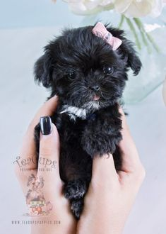 Yorkie Poo Puppies, Maltipoo Puppies For Sale, Biewer Yorkie, Toy Poodle Puppies, Cute Puppies, Teacup Maltipoo, Teacup Poodles, Teacup Dogs, Shih Tzu