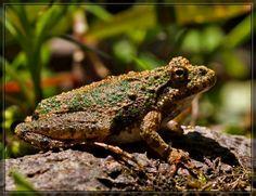 Cricket Frog 50D0000018 by Cristian-M.deviantart.com on @deviantART
