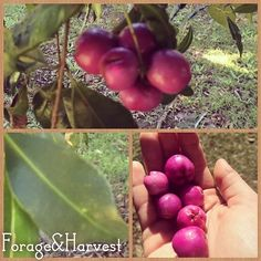 We love sharing information about edible plants. If you've missed it here is what has been going on over at our Instagram account. Stop by next time your on: @forageandharvest  ---  Beautiful big magenta lillipilli. This type: syzygy in smithii, is crisp and watery like an apple, sweet and not too tart. They are darker in colour than other lillipillis and grow on a larger tree, with dark glossy leaves and white fluffy flowers. To learn more about what wild food you can find in Aust..