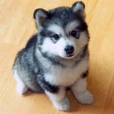 Half Pomeranian half husky. I WANT YOU SMALL FLUFFY ONE! <3