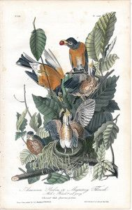 "Sign of springtime!  John James Audubon octavo edition ""American Robin"", hand colored lithograph from 1841.  www.tamoneillfinearts.com"