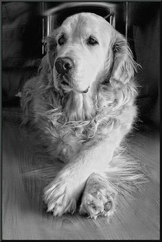 The Versatile Golden Retriever - Champion Dogs Fat Dogs, Dogs And Puppies, Doggies, Pitbull, Animals And Pets, Cute Animals, Dog Rules, Retriever Puppy, Beautiful Dogs