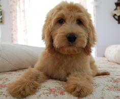 mini golden doodle puppy! @Ashley Walters Long he would look perfect in our apartment : )