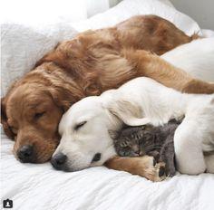 ゴールデンのカップルは猫が大好きっ♪♫ 幸せそうな3匹が微笑ましい♡♡♡                              …