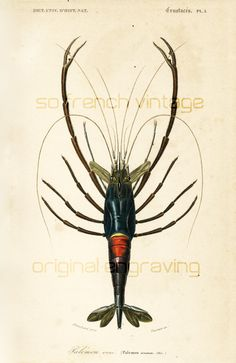 1861 Ecrevisse gravure ancienne Orbigny Original Qualité Exceptionnelle Histoire Naturelle Lithographie peinte à la main Palemon Ornatum de la boutique sofrenchvintage sur Etsy