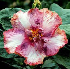 'Blueberry Smoothie' (Hibiscus rosa-sinensis)