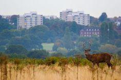 Cervos de Londres