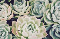'Hens and Chicks' Succulent, Filtered royalty-free stock photo Hens And Chicks, Filters, Succulents, Royalty Free Stock Photos, Commercial, Canvas Prints, Nature, Plants, Twitter