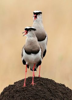 Crowned Plovers calling