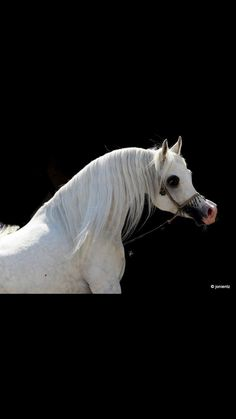 ~Beautiful Arabian Beautiful Arabian Horses, Welsh Pony, Arabian Beauty, Mane N Tail, White Horses, Horse Breeds, Horse Tack, Animal Kingdom, Dolphins