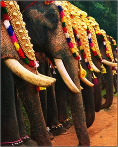 I wonder what happened to their tusks, almost a perfect photo except for that part. MUAHlicious...;D@<3  Onam festival . Kerala India