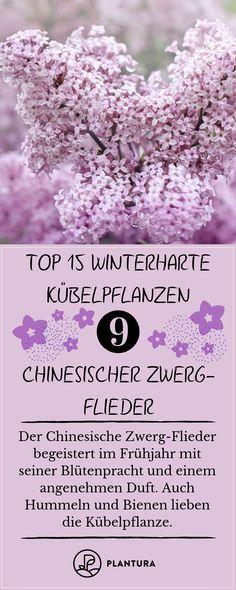 Winterharte Kübelpflanzen: Unsere Top 15. Frost, Schnee oder Minusgrade? Diese winterharten Kübelpflanzen trotzen der Kälte auf Eurem Balkon oder im Garten.#Wintergarten #Kübelpflanzen #ChinesischerZwergFlieder