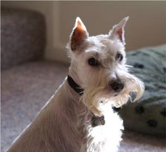 All about White Miniature Schnauzers. Their history and the controversy that surrounds them. The White Schnauzer is one of 4 color varieties of the breed recognized by the World Canine Org. Miniature Schnauzer Rescue, Schnauzer Breed, Mini Schnauzer, Schnauzers, Love Pet, I Love Dogs, Silly Dogs, Most Popular Dog Breeds, Dogs And Puppies