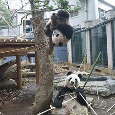 How naughty やんちゃすぎますね(笑) #animal #giantpanda #panda #babypanda #babygirl #ジャイアントパンダ #パンダ #赤ちゃんパンダ #XiangXiang #香香 #シャンシャン #ShinShin #真真 #シンシン #Japan #Tokyo #Ueno #UenoZoo #日本 #東京 #上野 #上野動物園 #恩賜上野動物園 #SavethePANDA #SAVEtheANIMAL