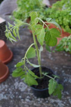 7 Experten-Tipps für Chili, Paprika &Tomaten