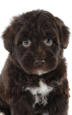 a Schnoodle....cross between Schnauzer and Poodle!