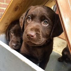Mind Blowing Facts About Labrador Retrievers And Ideas. Amazing Facts About Labrador Retrievers And Ideas. Labrador Retriever Chocolate, Chocolate Lab Puppies, Golden Retriever, Labrador Retriever Dog, Chocolate Labs, Labrador Dogs, Black Labrador, Puppies And Kitties, Cute Puppies