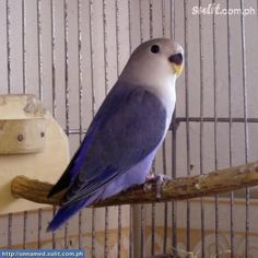 White faced violet lovebird... So pretty! I've never seen a lovebird with this type of coloring before.