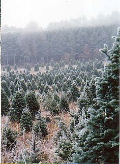 Christmas trees for family and friends on the farm.