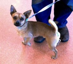 Male, Tan chihuahua  found on 12/11/13 at Tasman and Lawrence. A98822