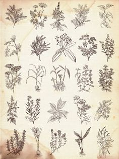 Vintage Labels More great drawings for embroidery projects - Herbs and spices. Vintage labels set by kateja on - Collection of herbs Botanical Tattoo, Botanical Drawings, Botanical Prints, Herbs Illustration, Botanical Illustration, Herb Tattoo, Floral Drawing, Vintage Drawing, Gras