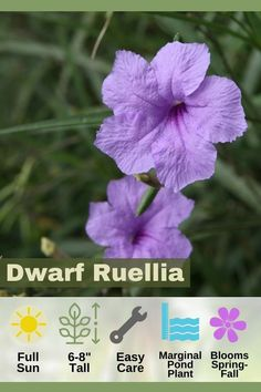"""Dwarf Ruellia, also known as """"wild petunias"""" and """"Aztec grass"""" is a marginal pond plant as well as a common garden variety species. Ruellia sports sky blue or pink flowers with strap-shaped foliage. The blooms appear from early Spring to late Autumn and are loved by butterflies. See our gallery of all the best pond/water garden plants to see more! Water Garden Plants, Container Water Gardens, Pond Plants, Aquatic Plants, Container Plants, Late Autumn, Early Spring, Small Ponds, Petunias"""