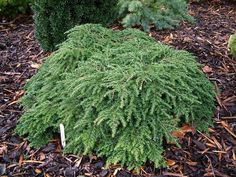 A garden picture Share amazing gardening photos at Grows on You, the gardening community Dwarf Trees, Plants, Garden Pictures, Trees And Shrubs, Conifers Garden, Dwarf Evergreen Shrubs, Amazing Gardens, Garden Design, Dwarf Conifers