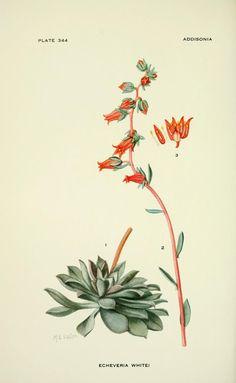 v.10 & Index v. 6-10 (1925) - Addisonia : - Biodiversity Heritage Library