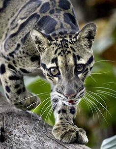 Clouded Leopard - Rare Asian Cat with Cloud Spots | Animal Pictures and Facts | FactZoo.com