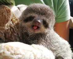 baby sloths