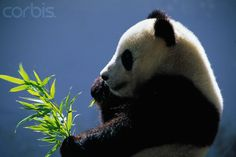 Pandas can eat over 80 pounds of bamboo a day