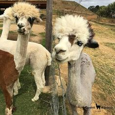 Fun Alpaca Facts  If you look closely you will notice that alpacas have shorter straighter ears than a llama.  Just dont get too close! Both of these animals are known to spit if they get annoyed. Yuck!  Alpaca wool is considered hypoallergenic. It is also much softer than sheeps wool and a whole lot less itchy!  #Quenti #Wellington #Alpaca #Facts Alpaca Facts, Alpacas, Alpaca Wool, Annoyed, Ears, Fun, Animals, Animales, Animaux