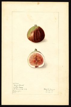 Royal Black Figs, watercolor, Elsie E Lower, 1912  (via U.S. Department of Agriculture Pomological Watercolor Collection. Rare and Special Collections, National Agricultural Library, Beltsville, MD 20705)