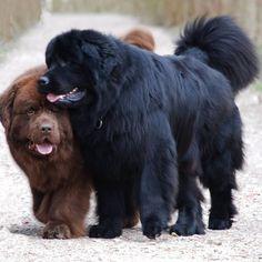 My dream dogs  #NewfoundlandDog