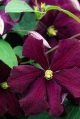 Clematis viticella Etoile Violette-Plants