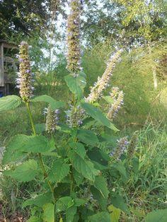 TSG: Korean Hyssop: Herbal Benefits In The Southern Garden