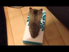 Kitten In Kleenex Box #kittens