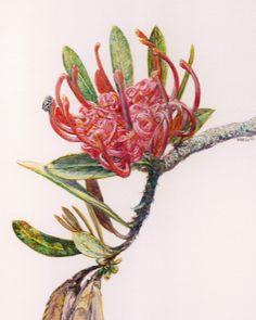 Tasmanian waratah and friend. Telopea truncata. Watercolour. Melhillswildart.