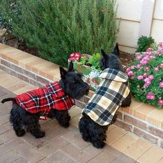 Scottish Terriers in Tartan Plaid