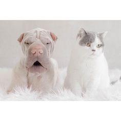 Mr Chatterbox #friday #weekend #paddington #mrchatterbox #dog #dogsofinstagram #cat #catsofinstagram #butler #sharpei #sharpeisofinstagram #sharpeilove #wrinkles #animalfamily #mybestfriend #weeklyfluff by anniepaddington