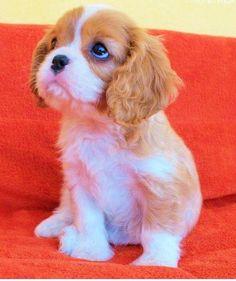 Cavalier King Charles Spaniel...cute!!