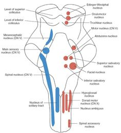 Longitudinal view of the brainstem depicting the position and arrangement of the sensory, motor, and autonomic cell groups that comprise first-order and second-order neurons associated with cranial nerves. Motor nuclei of cranial nerves (CN) III, IV, VI, and XII are classified as general somatic efferent (GSE) and are located near the midline. Motor nuclei of CN V, VII, IX, X (nucleus ambiguus for nerves IX and X), and XI are classified as SVE and are located slightly lateral to GSE neurons…