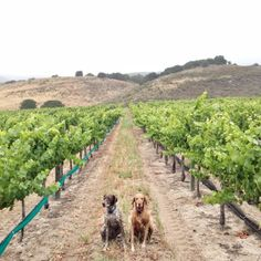 Two friends at a Sta. Rita Hills winery, in #SantaBarbara, #California. Travel California wine country this summer! Photo courtesy of noahwebb on Instagram.