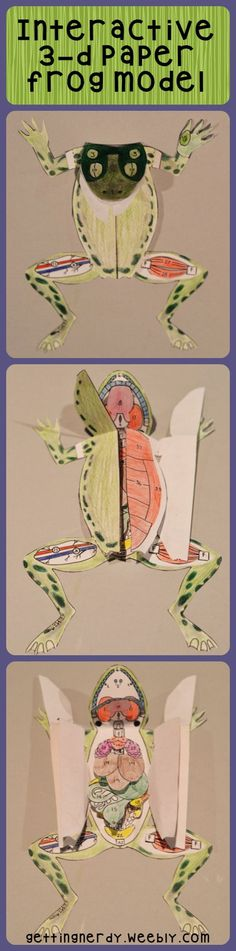 A 3-d paper grass frog model is perfect for secondary students. Use it for dissection preparation and/or anatomy studies. Comes with both male and female organs. #gettingnerdy
