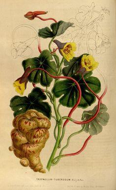 La capucine tubéreuse dans le tome 5 de la Flore des serres et des jardins de…