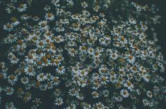 Daisy, Daisies, Flowers