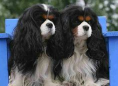 Lovely Black tri Cavaliers Cavalier King Spaniel, Cavalier Rescue, Cavalier King Charles Dog, Cocker Spaniel Dog, King Charles Spaniel, Beautiful Dogs, Animals Beautiful, Cutest Babies Ever, Doggy Stuff