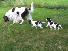 French Spaniel #Dogs #Puppy