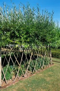 living willow fence - Google Search